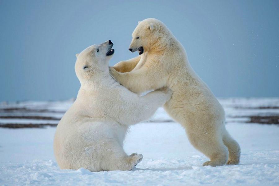 белые медведи 10 самых смертельно опасных существ в мире.