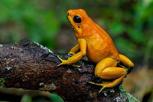 Золотая лягушка дротиков 10 самых смертельно опасных существ в мире.