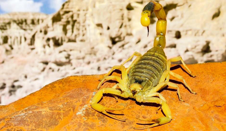 Израильский скорпион пустыни