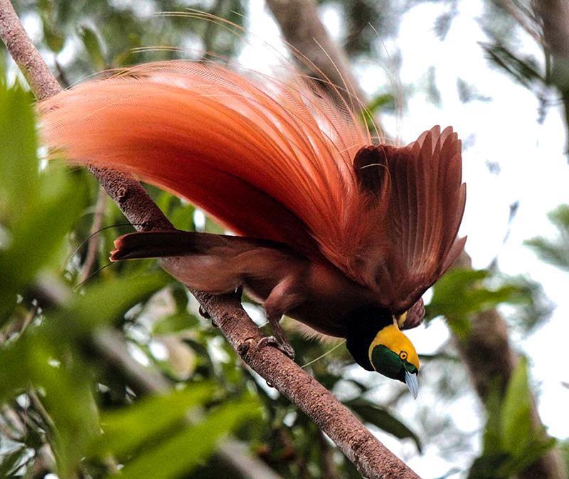 райские птицы красивые фото так