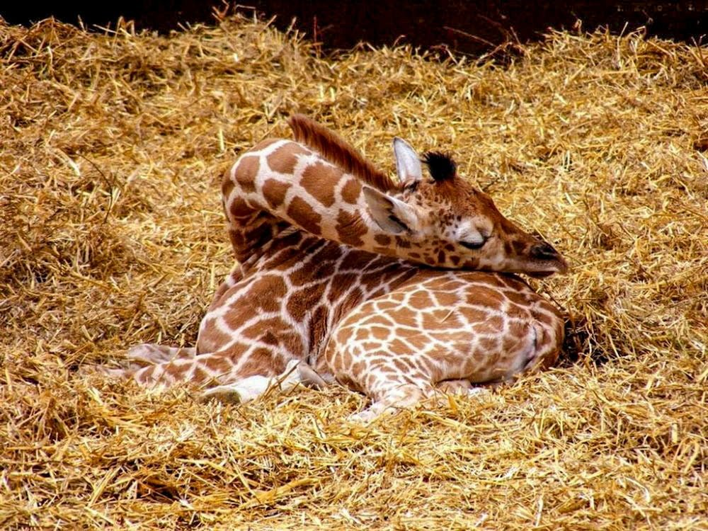 детеныш жирафа