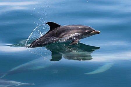 Дельфину необходимо подняться на поверхность, чтобы дышать
