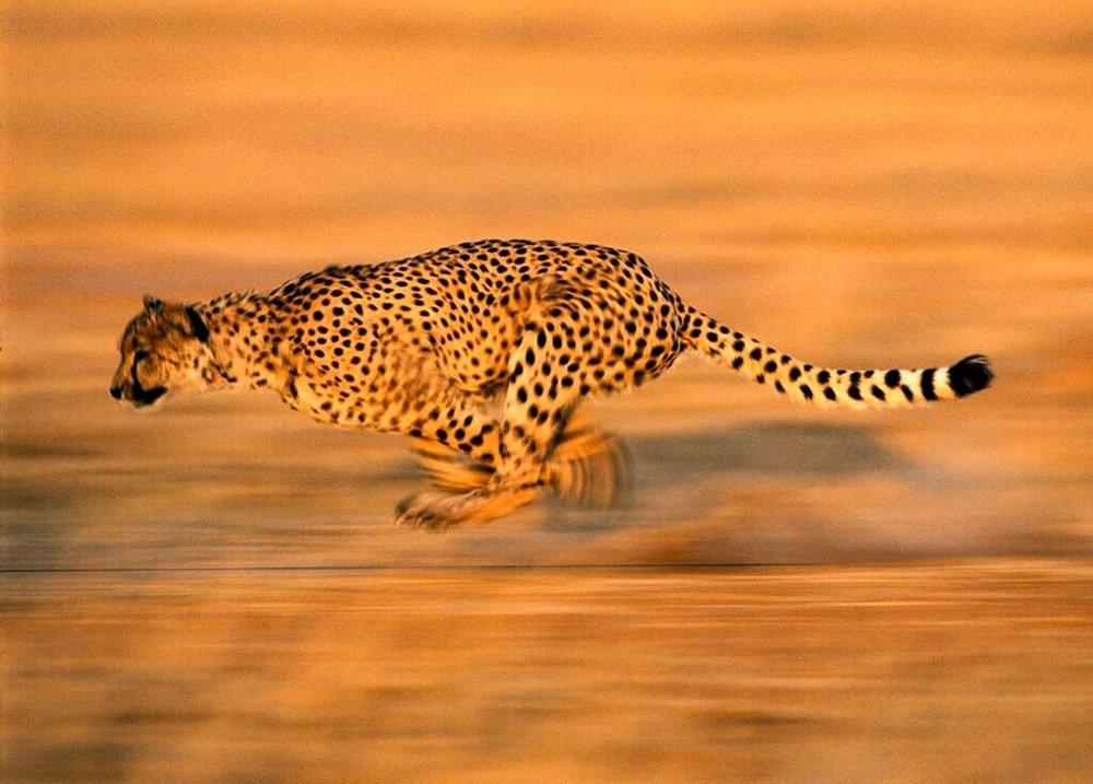 Гепард - самое быстро движущееся животное на Земле