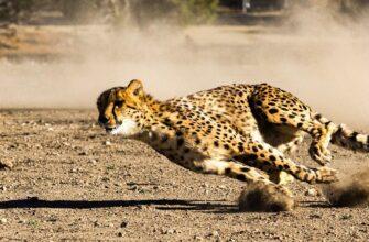 гепарды 10 фактов