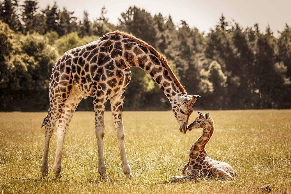 Самка жирафа с детенышем