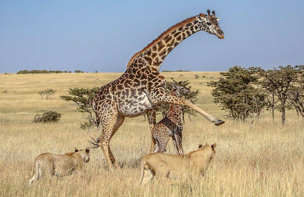 Самка жирафа защищает детеныша от прайда