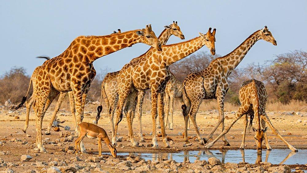 тусовка жирафов