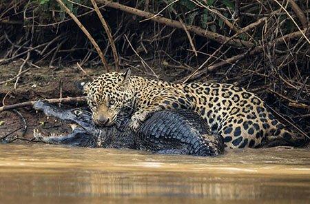 Схватка крокодила с ягуаром