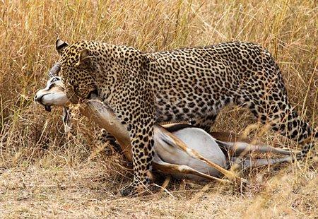 ягуары в саванне