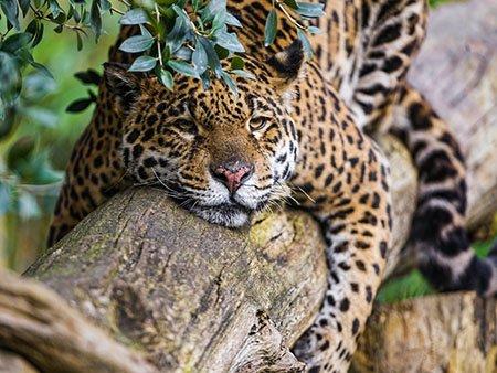 Ягуары | Интересные факты о диких кошках