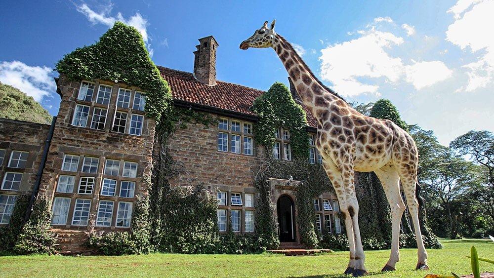 жирафы высокие