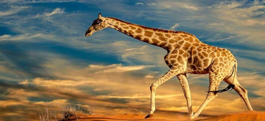 жирафы 10 удивительных фактов