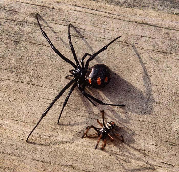 Самка (сверху) и самец черной вдовы-пауки