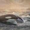 Косатка 10 интересных фактов о королеве океана
