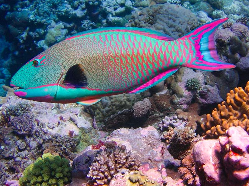 радужная рыба-попугай