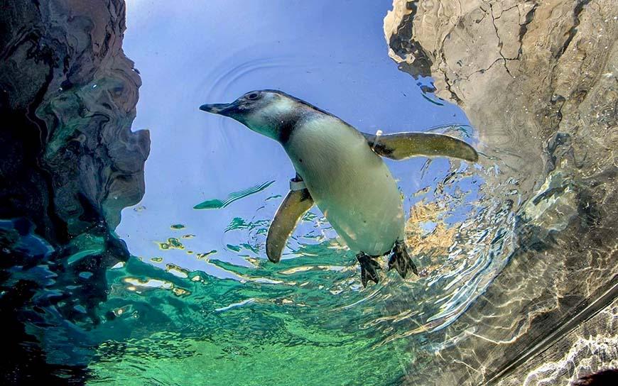 пингвины комуфляж